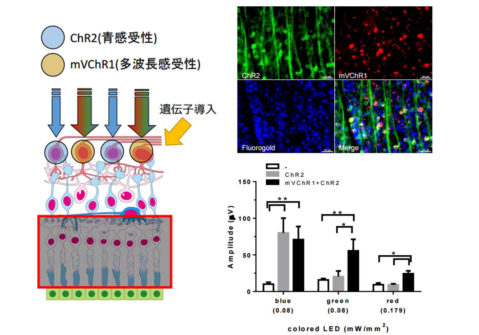 岩手大,視覚再生に遺伝子導入の効果を確認