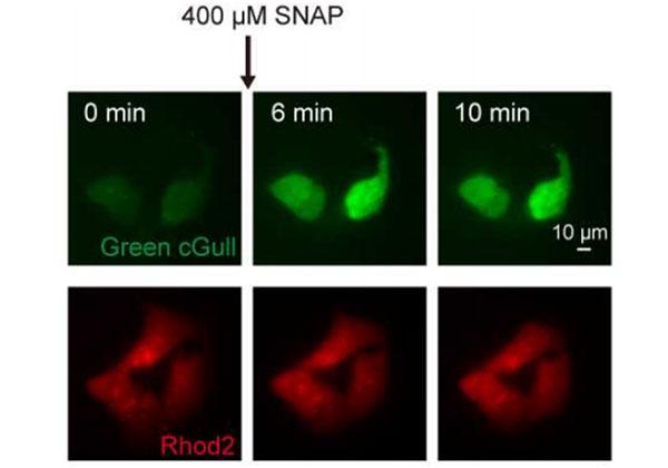 東大,細胞内分子を高輝度観察できるタンパク質センサーを開発