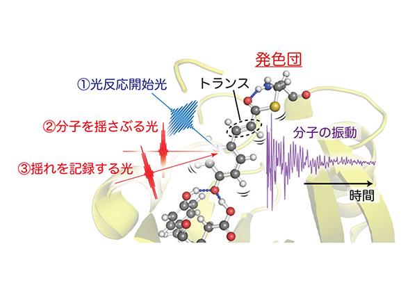 理研,10fsのパルス光で光受容タンパク質を観察