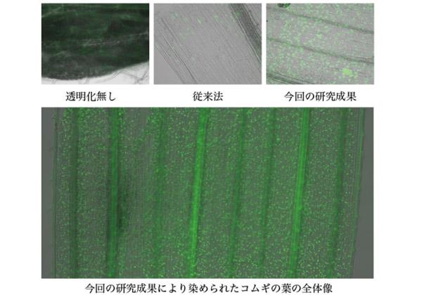 岡山大,透明化により遺伝子発現制御を可視化