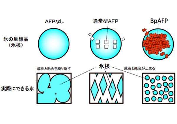 産総研ら,氷の結晶成長を止めるタンパク質を発見
