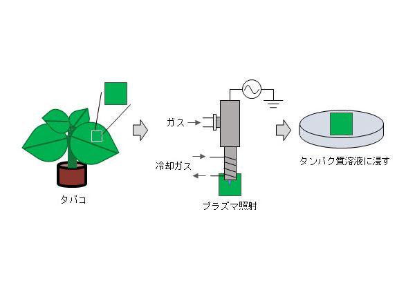 東工大ら,プラズマで植物にタンパク質を導入