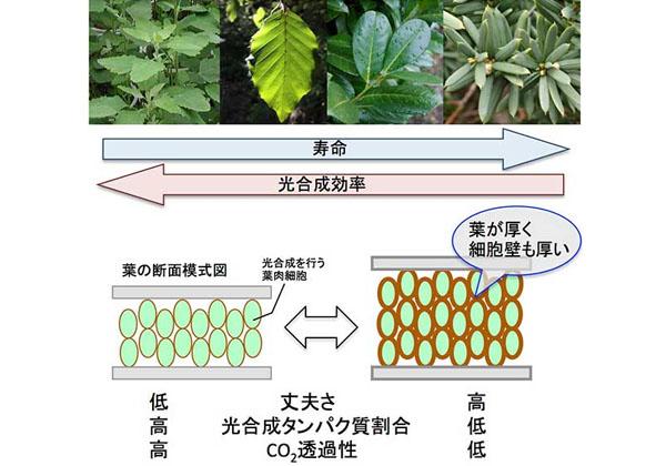 京大ら,光合成効率と葉の寿命の相関を解明