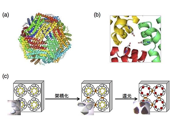 東工大,カゴ型タンパク質による金収集を観察