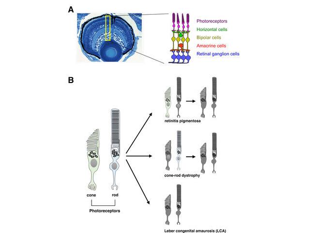 OIST,先天性視力障害のメカニズムの一端を解明