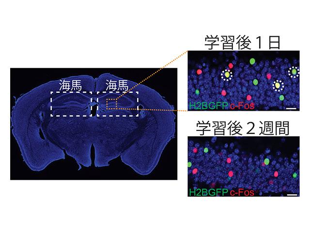 理研,日常の記憶のメカニズムを発見