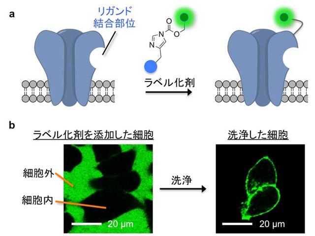 京大,記憶や学習に関わる受容体を蛍光標識