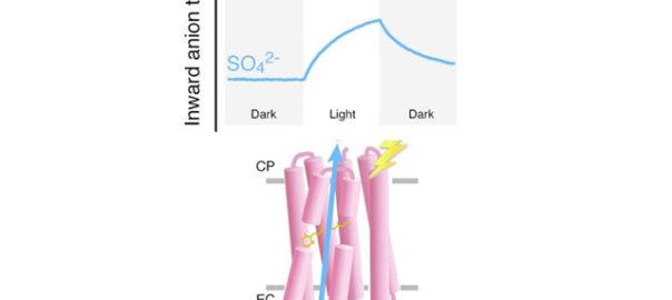 岡山大ら,光で働く硫酸イオン輸送体を発見
