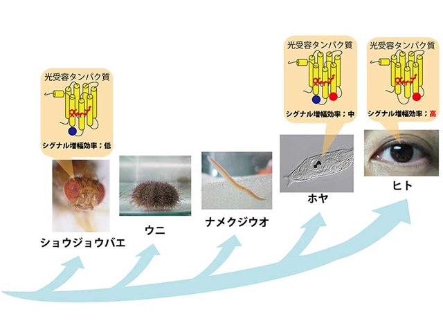京大,ホヤからヒトの視覚センサーの進化を明らかに