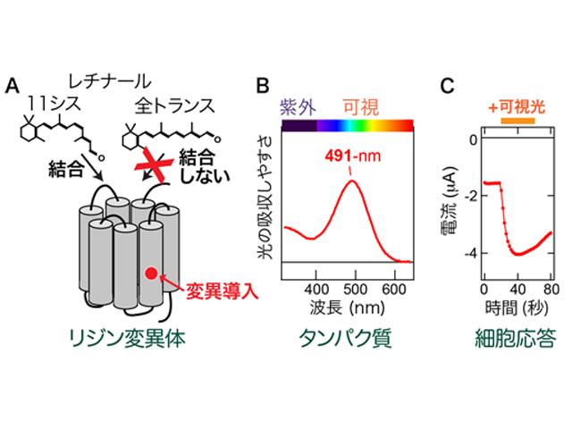 分子研ら,プランクトンの紫外線感知メカニズムを解明