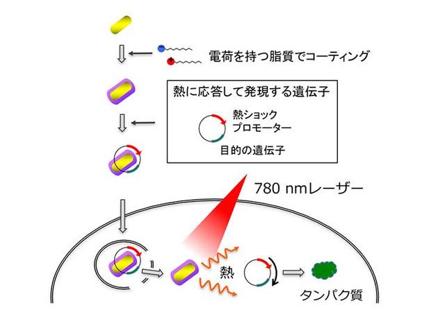 京大,光刺激で任意の場所とタイミングで遺伝子を発現