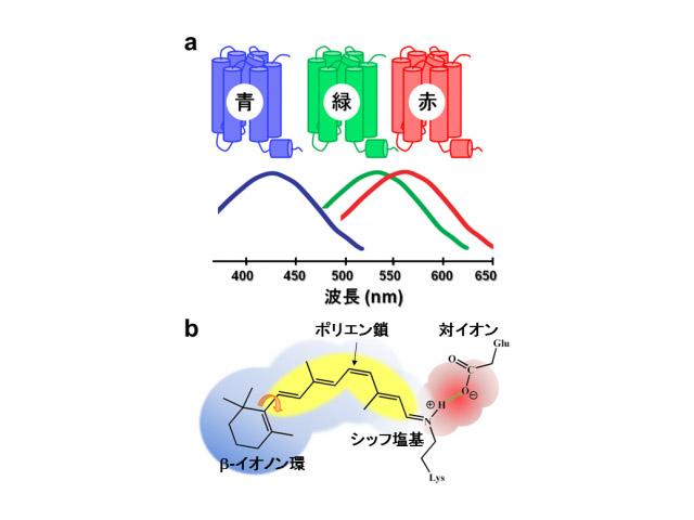 名工大ら,霊長類の青センサータンパク質を構造解析