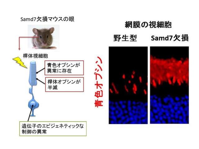 阪大ら,光センサー細胞のアイデンティティー形成を解明