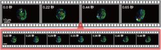 図3 高速SRS顕微鏡による生きて動くミドリムシの細胞内成分
