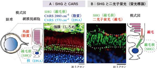 網膜組織内のSHGを含む多重観察