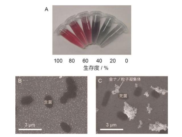 府大,金ナノ粒子で微生物の生存度を可視化