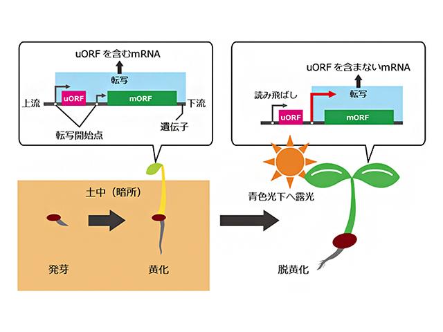 理研,光による植物遺伝子の発現制御機構を解明