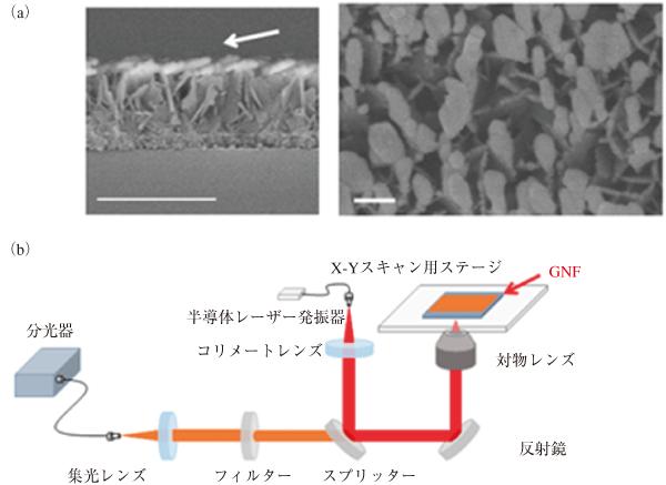 図1 金ナノ粒子の造形技術により作られたGNF基板(a:左が側面像,右が上面像)とGNFを用いたSERS imagingのシステム(b)。 (a)の矢印は金を蒸着させた方向を示す。白く光っている部分が「そらまめ状」の金ナノ粒子であり,それを上から見た写真が右になる。(a)のバーは左が500 nm,右が100 nm。