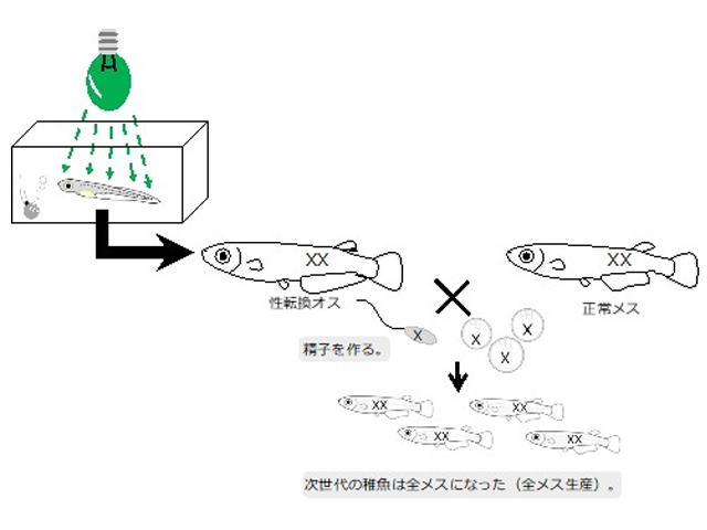 鹿児島大,緑色光がメダカのメスをオスに変えると発見